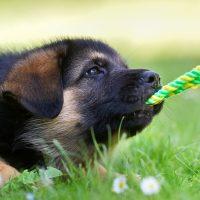 Щенок играет с верёвкой