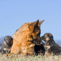 Два щенка играют с мамой