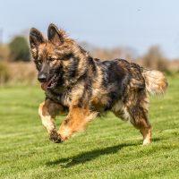 Немецкая овчарка бежит по лужайке
