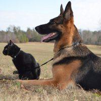 Немецкая овчарка и чёрный кот охраняют территорию