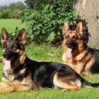 Два пса на траве