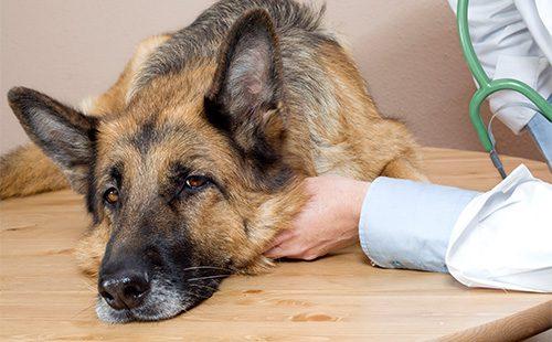 Немецкая овчарка у ветеринара