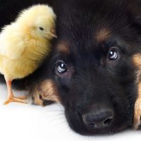 Цыплёнок и щенок