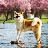 Собака с палкой в зубах стоит в реке