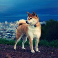 Красивый пёс на фоне вечернего города