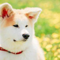 Белый пёс на летней лужайке