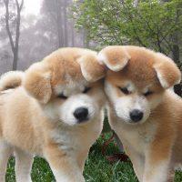Два щенка в туманном лесу