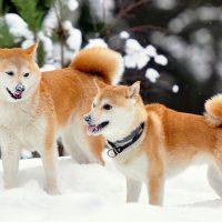 Два акиты на снегу
