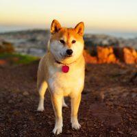 Японская собака в лучах рассвета