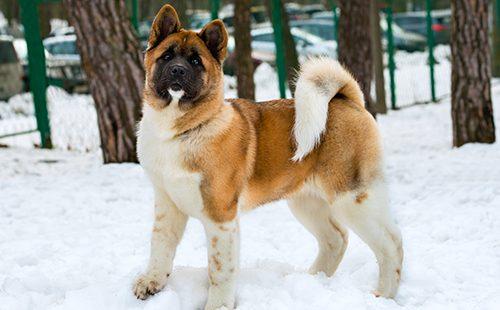 Акита-ину гуляет в снегу
