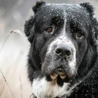 Портрет благородного пса