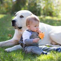 Алабай нянчит малыша в осеннем парке
