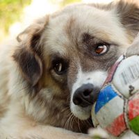 Молодой алабай с мячом