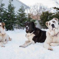 Три внушительных пса лежат на снегу