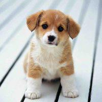 Миловидный щенок алабая