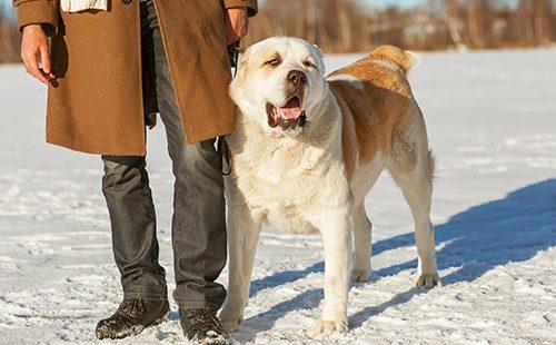 Мощный пёс гуляет с хозяином на снегу