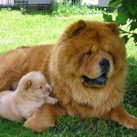 Чау-чау мама и щеночек