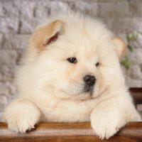Белый щенок чау-чау