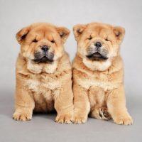 Два толстеньких щенка