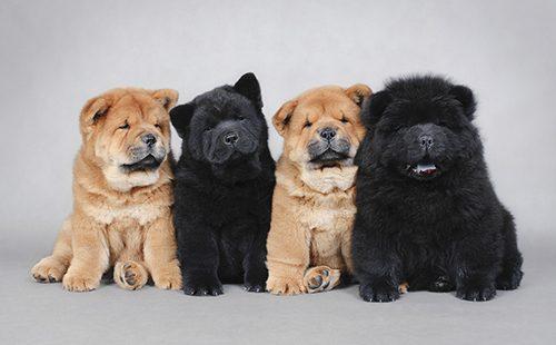 Четыре щенка на сером фоне