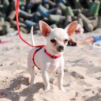 Чихуахуа гуляет на пляже