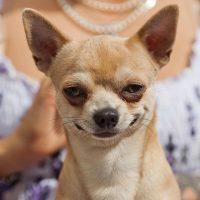 Хитрая улыбка богатой собаки
