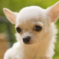 Невинный взгляд белой собачки
