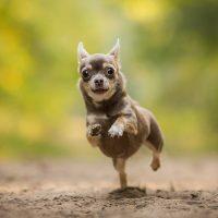 Смешной пёсик бежит по дорожке