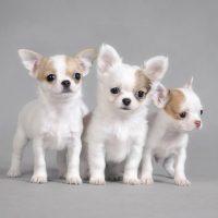 Три белые собачки
