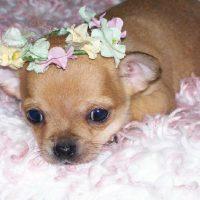 Собачка с цветами на голове