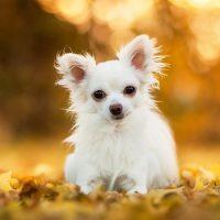 Белый чихуахуа гуляет осенью