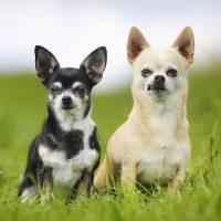 Два чихуахуа на траве