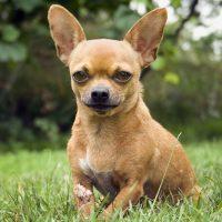 Портрет ушастого пса на траве
