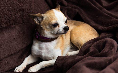 Портрет изящной собачки