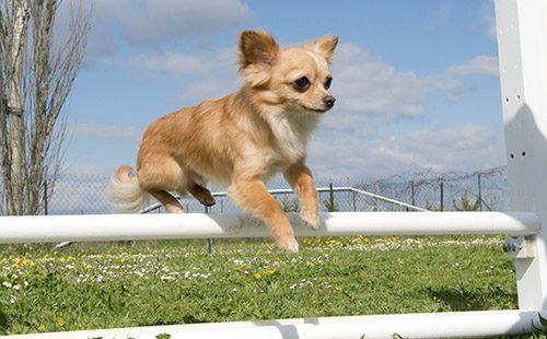 Красивый пёсик прыгает через препятствие