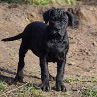 Любопытный чёрный щенок