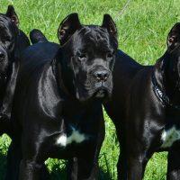 Три чёрных пса на траве