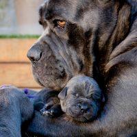 Щенок в трогательном объятии своей мамы