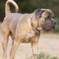 Пёс окраса форментино