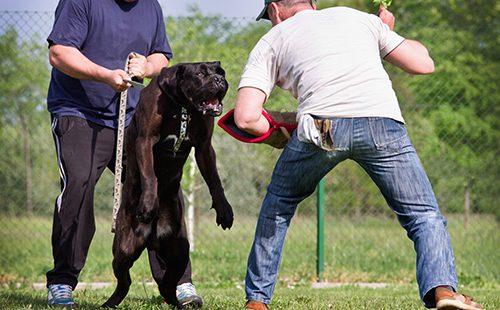 Грозный пёс учится нападать по команде