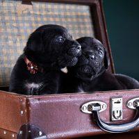 Два щенка в открытом чемодане