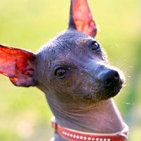 Красивый пёс с большими ушками