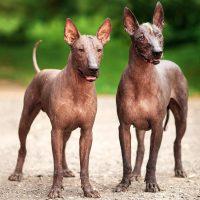 Две статные собаки в полный рост
