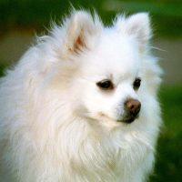 Портрет белой собаки