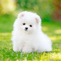 Чудесный белый щенок