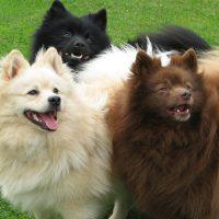 Три разноцветных пса