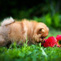 Кругленький пёсик нюхает цветы