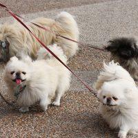 Четыре пекинеса на поводках