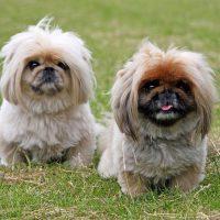Два пекинеса на траве