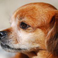 Рыжий пёсик в профиль